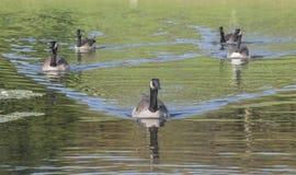 Pato-guia no lago fotos de stock