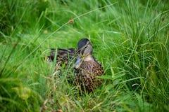 Pato hermoso Foto de archivo