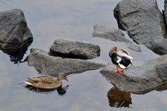 Pato hermoso dos en rocas en el río Fotografía de archivo libre de regalías