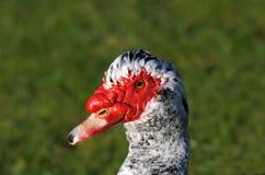 Pato incomun Foto de Stock Royalty Free