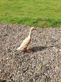 Pato indiano do corredor Foto de Stock