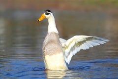Pato indiano masculino do corredor na água azul Fotos de Stock