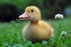 Pato joven fotos de archivo