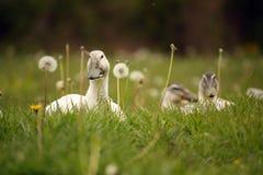 Pato joven en la hierba Fotos de archivo