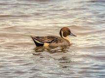 Pato juvenil del pato rojizo septentrional imágenes de archivo libres de regalías
