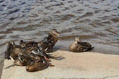 Pato juvenil do pato selvagem esse resto acima Imagens de Stock Royalty Free