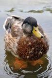 Pato lindo Fotos de archivo