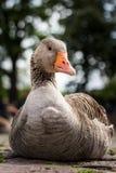 Pato lindo Imagen de archivo libre de regalías