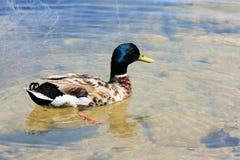 Pato lindo en el agua Foto de archivo libre de regalías