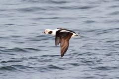 Pato Long-tailed (Oldsquaw) no vôo fotografia de stock