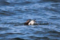 Pato Long-tailed que se zambulle Foto de archivo libre de regalías