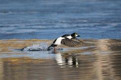 Pato macho común del goldeneye que corre a lo largo del borde del hielo en la charca en primavera Fotos de archivo libres de regalías