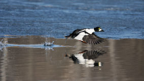 Pato macho común del goldeneye que corre a lo largo del borde del hielo en la charca en primavera Imagen de archivo libre de regalías