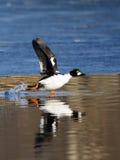 Pato macho común del goldeneye que corre a lo largo del borde del hielo en la charca en primavera Foto de archivo libre de regalías