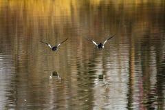 Pato macho del islandica del Bucephala del goldeneye del ` s de la carretilla, pájaro S de Inglewood fotografía de archivo