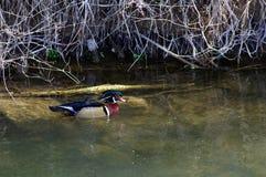 Pato macho del pato de madera Fotografía de archivo