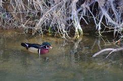 Pato macho del pato de madera Foto de archivo libre de regalías
