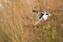 Pato macho del pato silvestre en vuelo Imágenes de archivo libres de regalías