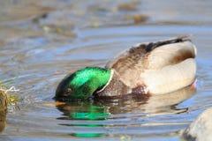 Pato macho del pato silvestre que salpica imagen de archivo