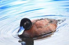 Pato mandado la cuenta azul Foto de archivo