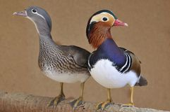 Pato mandarín, Aix galericulata. Royalty Free Stock Photography