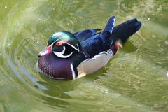 Pato maravillosamente coloreado imágenes de archivo libres de regalías