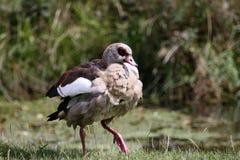 Pato marmoreado Fotografia de Stock
