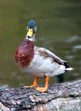 Pato masculino Foto de archivo libre de regalías