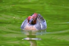 Pato masculino de Falcated Foto de archivo libre de regalías