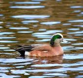 Pato masculino de la natación del Wigeon americano Fotografía de archivo