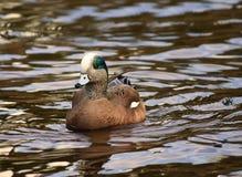 Pato masculino de la natación del Wigeon americano Foto de archivo