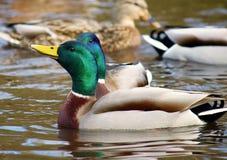 Pato masculino del pato silvestre Imagenes de archivo