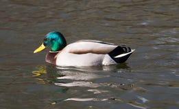 Pato masculino del pato silvestre Foto de archivo