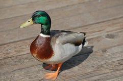 Pato masculino del pato silvestre Fotos de archivo libres de regalías