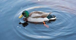 Pato masculino del pato silvestre imagen de archivo libre de regalías
