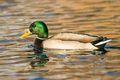 Pato masculino del pato silvestre Imagen de archivo