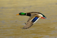 Pato masculino del pato silvestre en vuelo Imagen de archivo libre de regalías