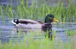 Pato masculino del pato silvestre que flota en el agua Foto de archivo