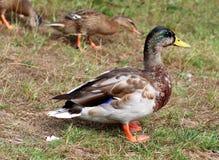 Pato masculino del pato silvestre que se coloca en hierba Imagen de archivo libre de regalías
