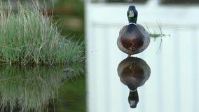 Pato masculino del pato silvestre en agua de lluvia almacen de metraje de vídeo