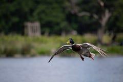 Pato masculino del pato silvestre fotos de archivo