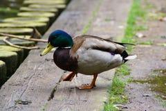 Pato masculino del pato silvestre foto de archivo libre de regalías