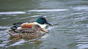 Pato masculino do clypeata dos Anas do pato-colhereiro do norte na lagoa de Shinobazuno, Ueno, Japão fotos de stock royalty free