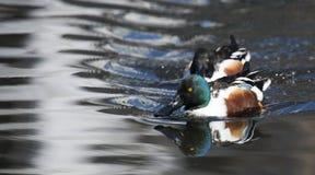 Pato masculino do clypeata dos Anas do pato-colhereiro do norte na lagoa de Shinobazuno, Ueno, Japão imagem de stock