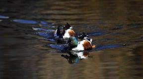 Pato masculino do clypeata dos Anas do pato-colhereiro do norte na lagoa de Shinobazuno, Ueno, Japão foto de stock royalty free