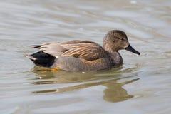 Pato masculino do pato cinzento do Norte da Europa Imagens de Stock Royalty Free
