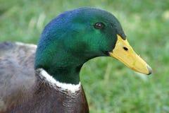 Pato masculino do pato selvagem Foto de Stock