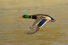 Pato masculino do pato selvagem no vôo Imagem de Stock Royalty Free