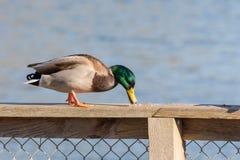 Pato masculino do pato selvagem Fotografia de Stock Royalty Free