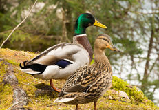Pato masculino e fêmea no lago da montanha Fotografia de Stock Royalty Free